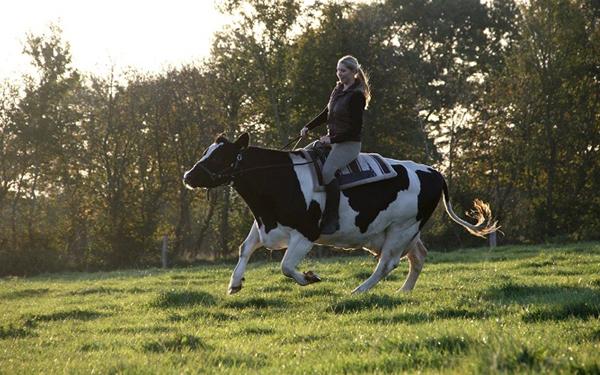 Riding a Cow