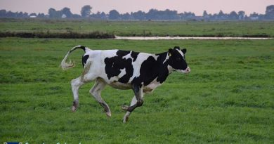 Momentum Of Cow